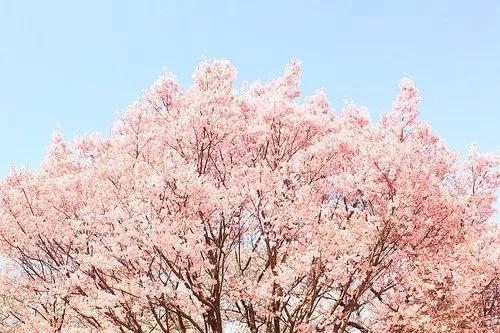 奇天樱花节插画征集比赛