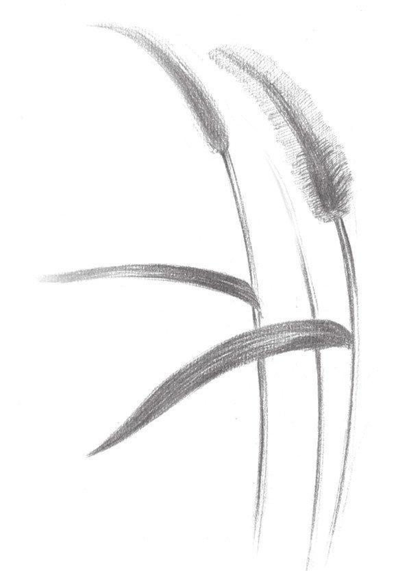 素描画狗尾巴草步骤